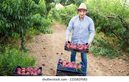 Portrait of happy cheerful positive man horticulturist showing crate with harvest of peaches in garden