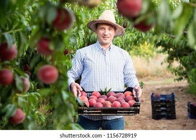 Portrait of happy cheerful positive smiling man horticulturist showing crate with harvest of peaches in garden