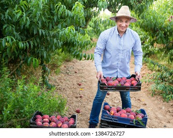 Portrait of happy cheerful smiling man horticulturist showing crate with harvest of peaches in garden