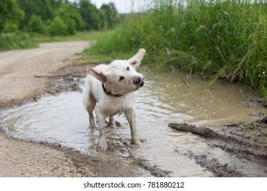 Portrait of Happy dirty golden retriever dog