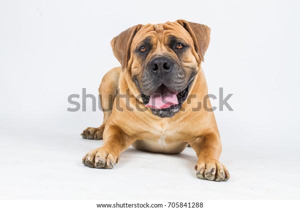 Portrait Happy Dog Boerboel South African Stock Photo (Edit
