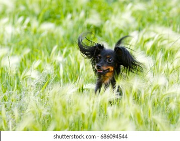 Portrait of a happy dog in the grass. A beautiful black puppy is sitting in the ears. Long-haired Russian Toy Terrier