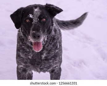 Portrait of happy dog with piercing eyes wagging his tail with snow on his face