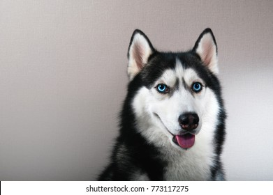 Portrait happy emotion husky dog.  Siberian husky black and white color with blue eyes.