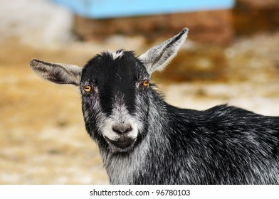 Portrait of a happy funny looking goat staring at camera and smiling, great details.