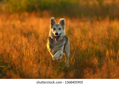 Portrait of happy husky dog running in a field on sunset looking at camera. Yellow grass and trees background. Copy space