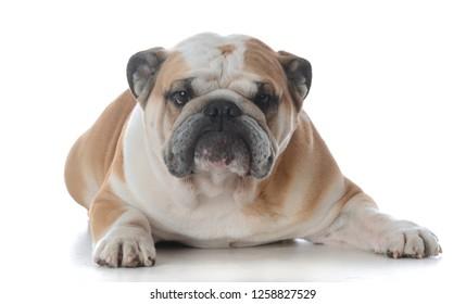 portrait of happy male english bulldog on white background