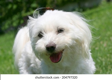 Portrait of a happy maltese dog with cut hair for summer in a garden