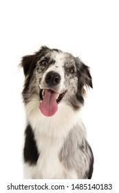 Portrait Happy merle border collie dog isolated on white background.