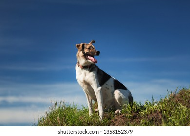 Portrait happy mixed breed dog sitting on sunny green field against the blue sky. Mixed breed dog smiles with his tongue out. Cute pet during walks. Copy space.