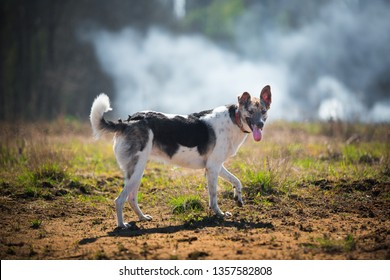 Portrait happy mongrel dog walking on sunny green field. Forest and smoke background . Mixed breed dog running forward and looking at camera with tongue out