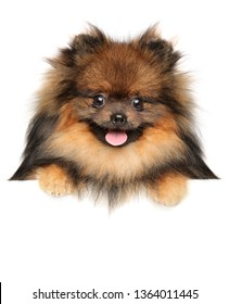Portrait of happy Pomeranian Spitz puppy above banner, isolated on white background. Animal themes