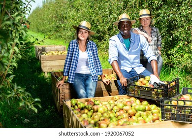 Portrait of happy positive smiling international team of farmers near boxes with harvested ripe pears in fruit garden on sunny day