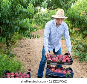 Portrait of happy  positive smiling man horticulturist showing crate with harvest of peaches in garden