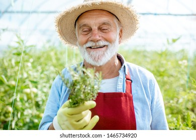 Portrait of a happy senior bearded man as agronomist holding rosemary branch in the hothouse at the agricultural farm. Concept of a small agribusiness and work at retirement age