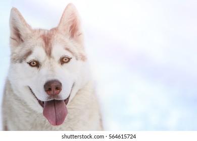 Portrait of happy Siberian husky outdoors on winter day