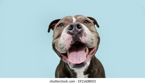 Portrait happy smiling american bully dog. Isolated on blue background. - Shutterstock ID 1911608053