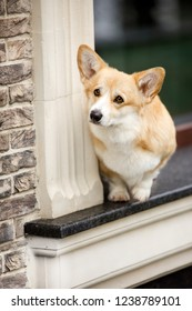 portrait happy Welsh corgi dog stay on window. black window miror background