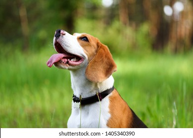 Portrait of happy young beagle dog outdoors against green nature background