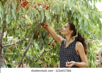 Portrait of happy young woman gardener picking sweet cherry from tree. Girl farmer. Harvesting of fruits and berries