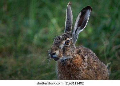 portrait of a hare with long ears on a blurry green background