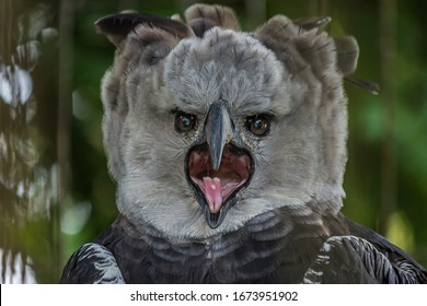 Portrait of Harpy eagle (Harpia harpyja) screaming displeased with his mouth wide open