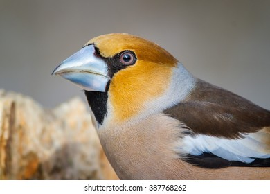 The Portrait of Hawfinch