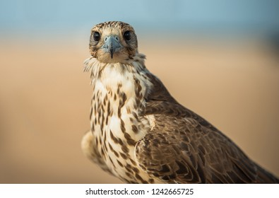 portrait for hawks or falcon qatar 2013