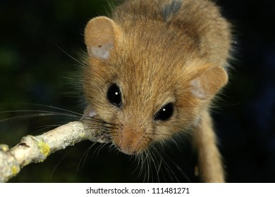 Portrait of hazel dormouse, closeup