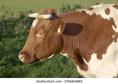 Portrait of the head of a brown cow