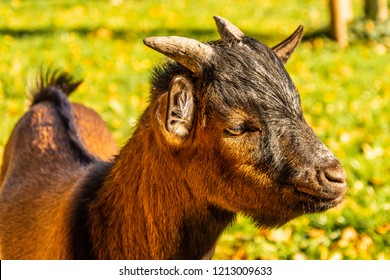 Portrait of a head of a brown pygmy goat. Life on the farm. Small brown young goat.