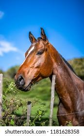 Portrait of horse's head. Chestnut stallion. Curious Polocrosse pony back on the farm. Copy space.