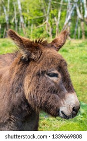 Portrait with head of donkey in dutch pasture