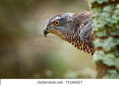 Portrait of head of goshawk. Bird of prey sitting on the branch in the fallen larch forest during autumn. Goshawk hidden behind the tree in Norway.