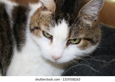 Portrait of head of handsome faced male cat with tabby markings of browns and white, showing both eyes, ear, whiskers with fur and patches white of shoulder top half body sat on sofa interior