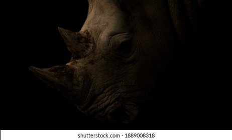 Portrait of the rhino´s head on the black background.