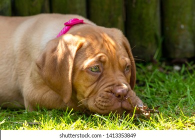 A portrait head shot of Mabel, an 8 week old Dogue de Bordeaux (French Mastiff) bitch, with the less common fawn isabella colouring, laying with a dead leaf that she had just been playing with.