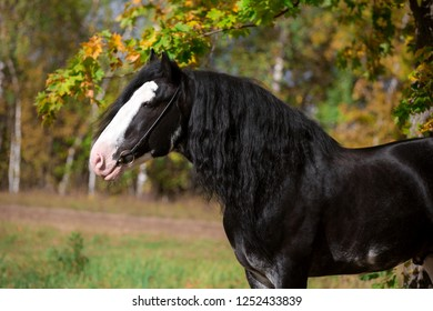 portrait of a heavy horse Clydesdale stallion in summer, autumn