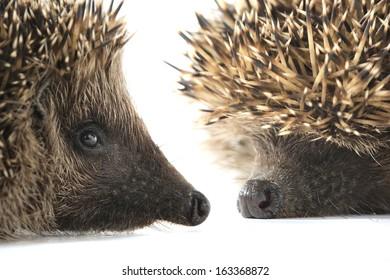 portrait hedgehog  on a white background