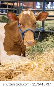 Portrait of a heifer dairy cow laying in a bed of straw at an indoor milking barn