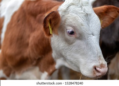 Portrait of a heifer young cow