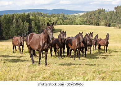 Portrait of herd black kladrubian horses