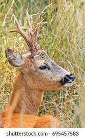 Portrait of a hidden roe deer in the middle of the high grass