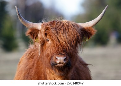 Portrait of highland cattle