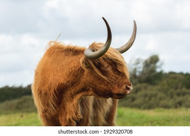 Portrait of a Highland cow looking sideways. The cow is standing in a grassland and has a blury green background of bushes