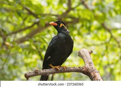 Portrait of a hill mynah bird