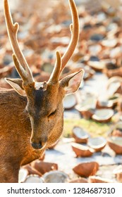 A portrait of Hog Deer is on a drying pavement, coconut meat and coconut shell blurred backgrounds. Kradad Island, the island of Hog deer in Trat, Thailand. Bright and beautiful rim light.