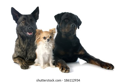 portrait of an holland shepherd, chihuahua and rottweiler in a studio