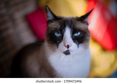 Portrait of homey cat looking at camera, with serious attitude.