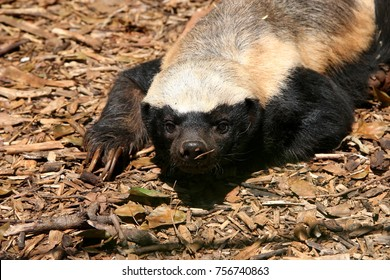 portrait of Honey Badger, Mellivora capensis, South Africa